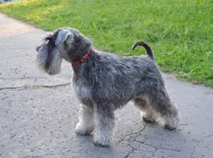 BMKS-ADELKA-Danky-dog